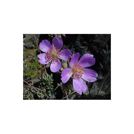 Calandrina - Esencia Floral del Desierto de Chile