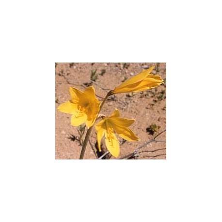 Añañuca - Esencia Floral del Desierto de Chile