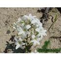 Estrella de Luz - Esencia Floral del Desierto de Chile