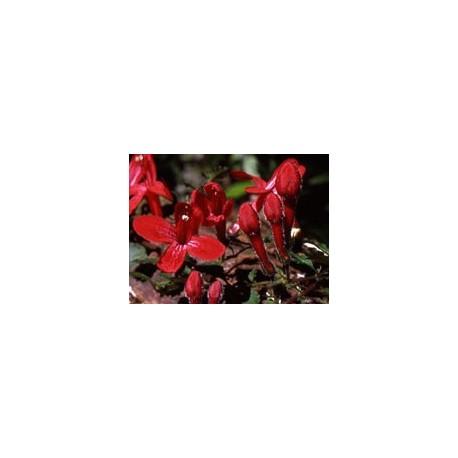 Estrellita Roja - Esencia del Bosque profundo de Chile