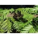 Sequoya - Esencia del Bosque profundo de Chile