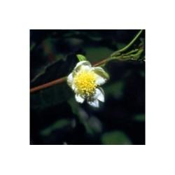 Thea - Esencia Floral de Saint Germain