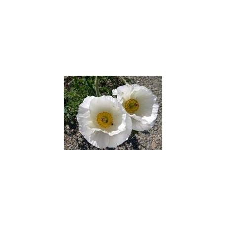 Cardosanto - Esencia floral del desierto de Chile