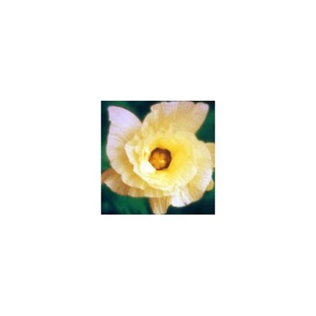 Algodao - Esencia Floral de Saint Germain