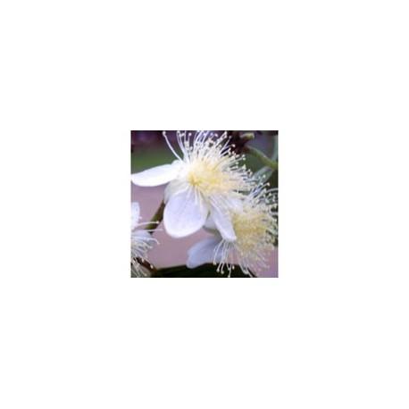 Goiaba - Esencia Floral de Saint Germain