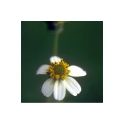 Leucantha - Esencia floral de Saint Germain