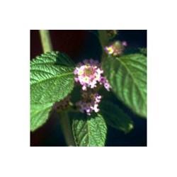 Melissa - Esencia floral de Saint Germain