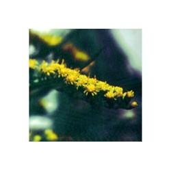 Arnica Silvestre - Esencia Floral de Saint Germain