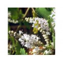 Incensum - Esencia Floral de Saint Germain