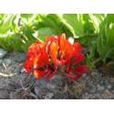 Garra de León - Esencia Floral del Desierto de Chile