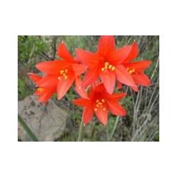 Añañuca Roja - Esencia Floral del Desierto de Chile