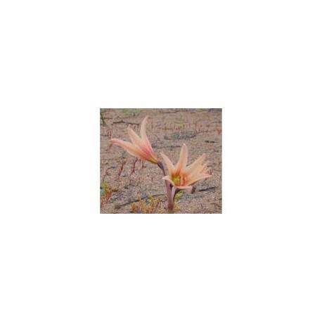 Añañuca Rosada - Esencia Floral del Desierto de Chile